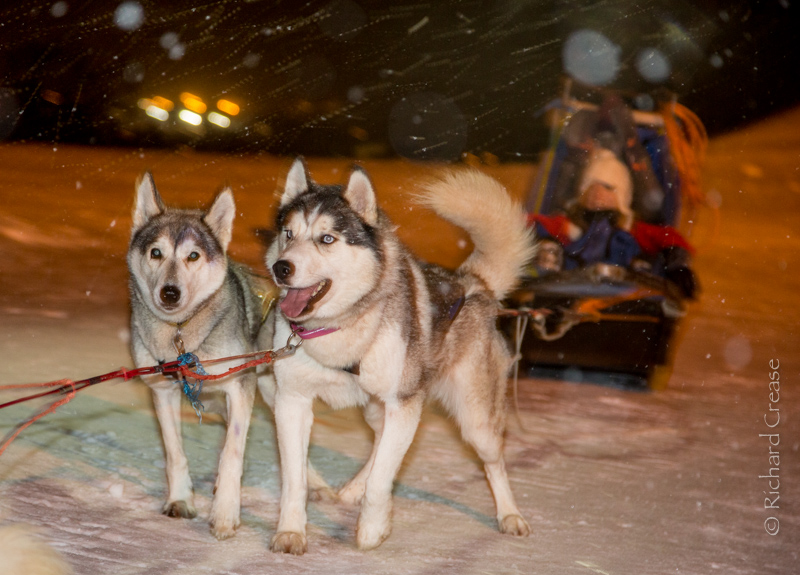 Husky dog sledging in Northern Norway.