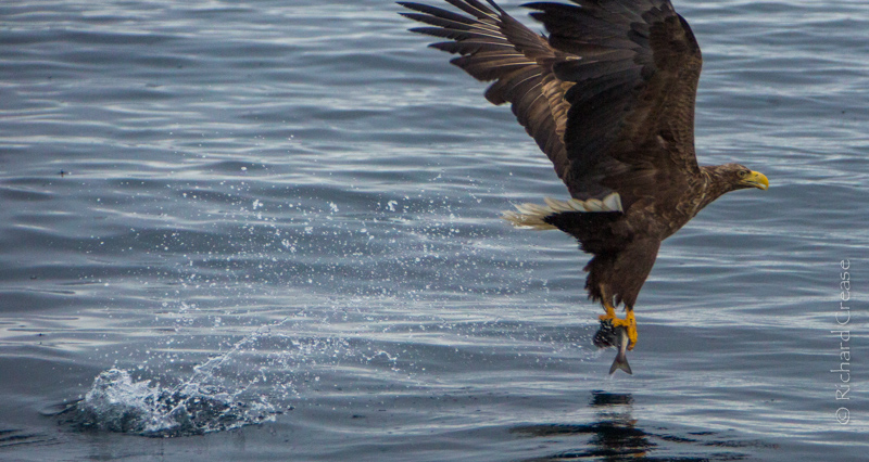 A Sea eagle makes a catch in Northern Norway.