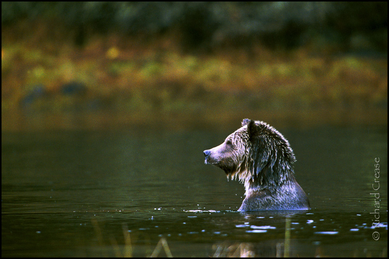 A lone grizzly bear looking for salmon near Knight Inlet, British Columbia.